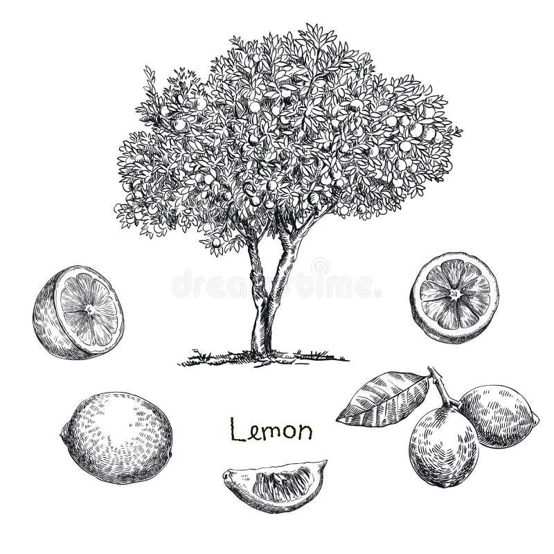 Cytryny drzewa nakreślenie royalty ilustracja