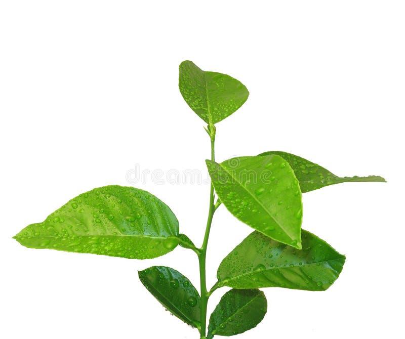 cytryny drzewo zdjęcie royalty free
