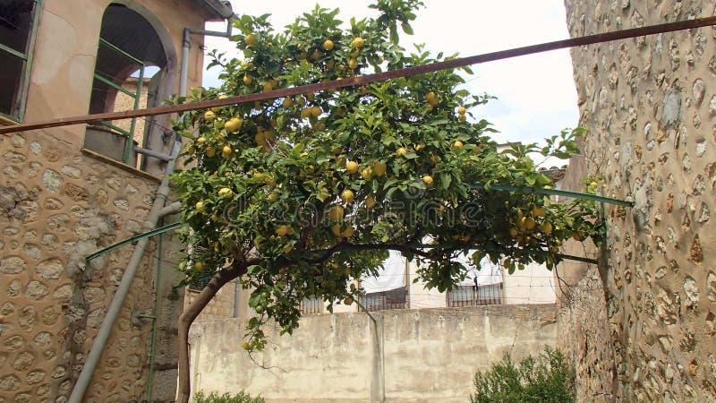 Cytryny drzewo jako dach zdjęcie stock