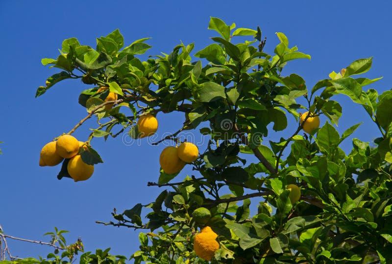 Cytryny drzewo przeciw niebieskiemu niebu obraz stock