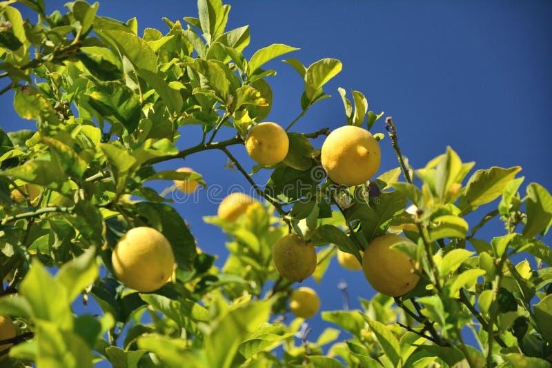 Cytryny drzewo z cytrynami zdjęcia stock