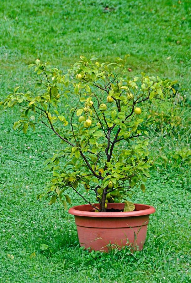 Cytryny drzewo z owoc w brązu kwiatu garnku zdjęcie stock
