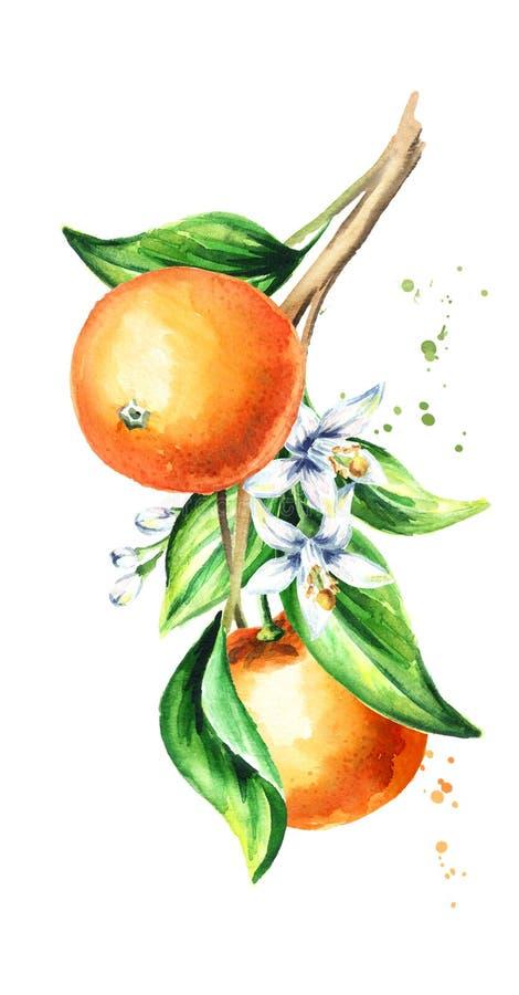 Cytryny gałąź z owoc i liśćmi Akwareli ręka rysująca pionowo ilustracja, odizolowywająca na białym tle ilustracji