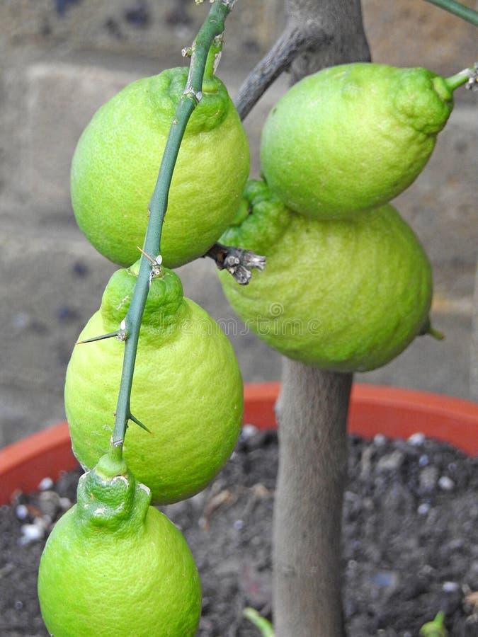 Cytryny i wapno krajowa organicznie owoc obrazy stock