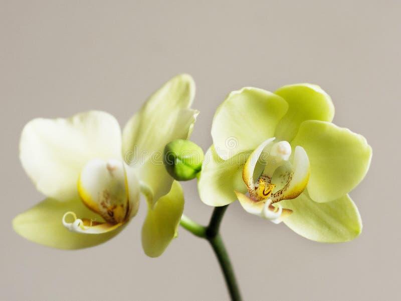 Cytryny orchidei gałąź na odosobnionym tle zdjęcie stock
