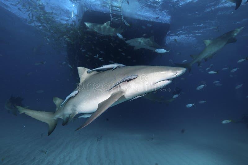 cytryny rekinu boczny widok fotografia stock