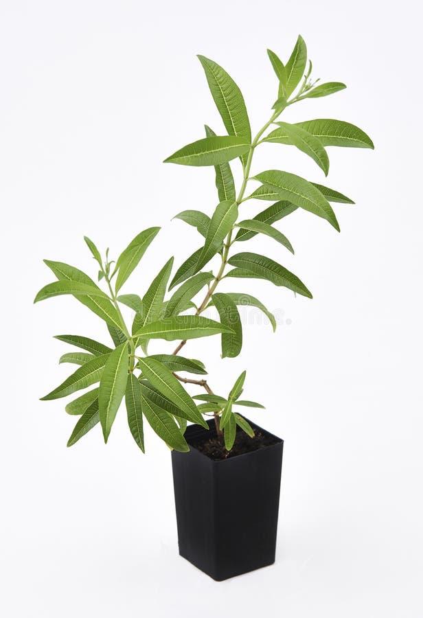 Cytryny Verbena roślina obrazy royalty free