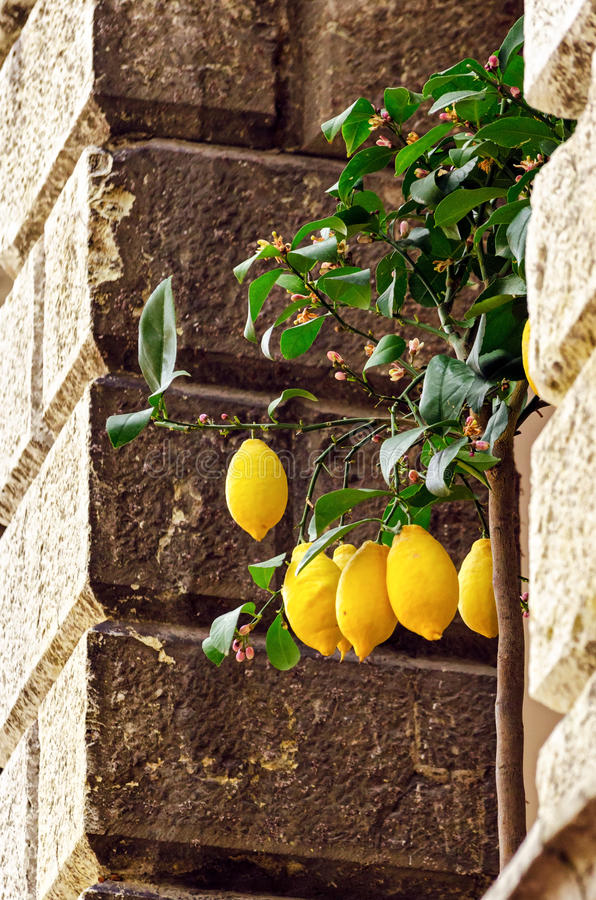 Cytryny w Limone sul Garda fotografia royalty free