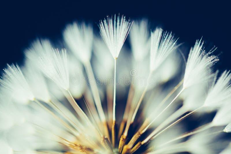 Część dandelion kwiat na ciemnym tle zdjęcie royalty free