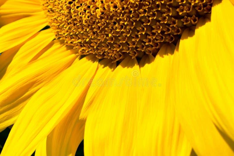 Część kwiatostan słonecznikowy zakończenie obrazy stock