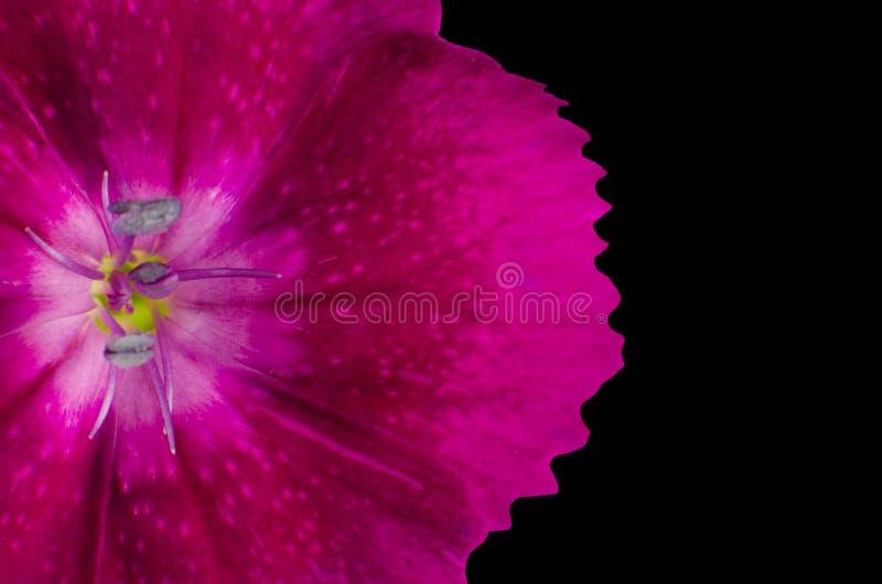 Download Część Purpurowy Diathus Kwiat Odizolowywający Na Czerni Obraz Stock - Obraz złożonej z natura, flory: 28973505