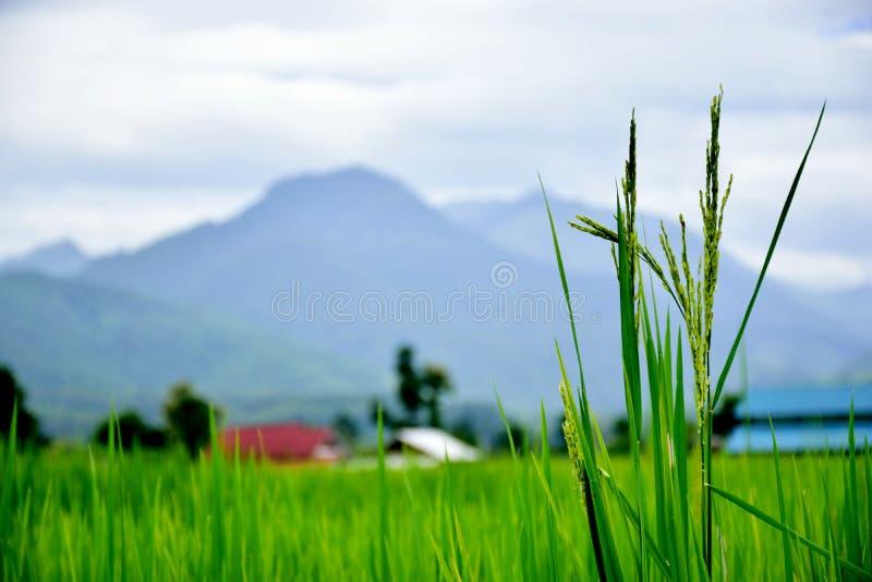 Część ryżowi pola zdjęcie royalty free