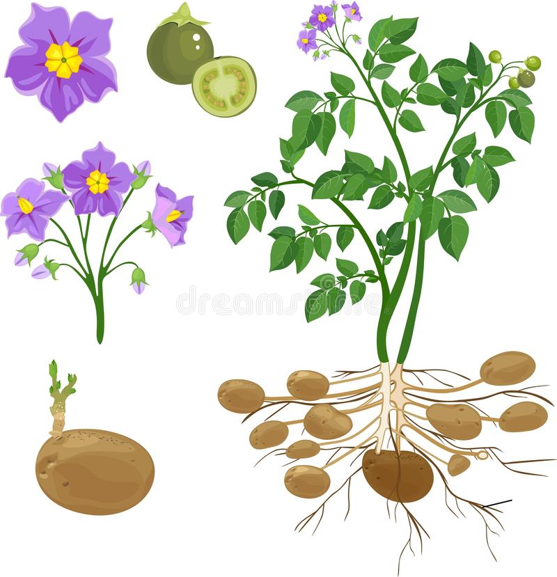 Części kartoflana roślina ilustracji