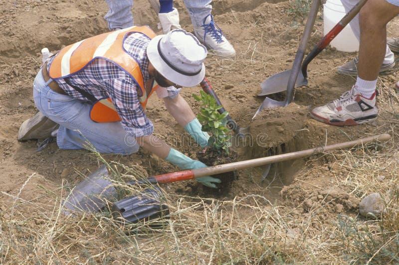 Członek Czysta & Zielona środowiskowa grupa Los Angeles konserwaci korpusy zasadza drzewa w dziurze kopiącej innym wor zdjęcie stock