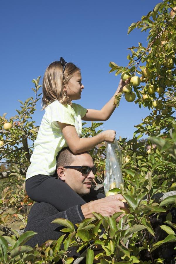 Członkowie rodziny podnosi jabłka zdjęcie royalty free