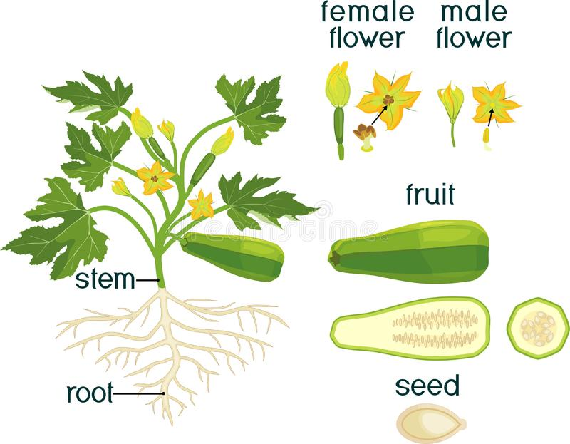 Cz??ci ro?lina Morfologia zucchini ro?lina z owoc, ziele? li??mi, korzeniem, kwiatami i tytu?ami, ilustracja wektor