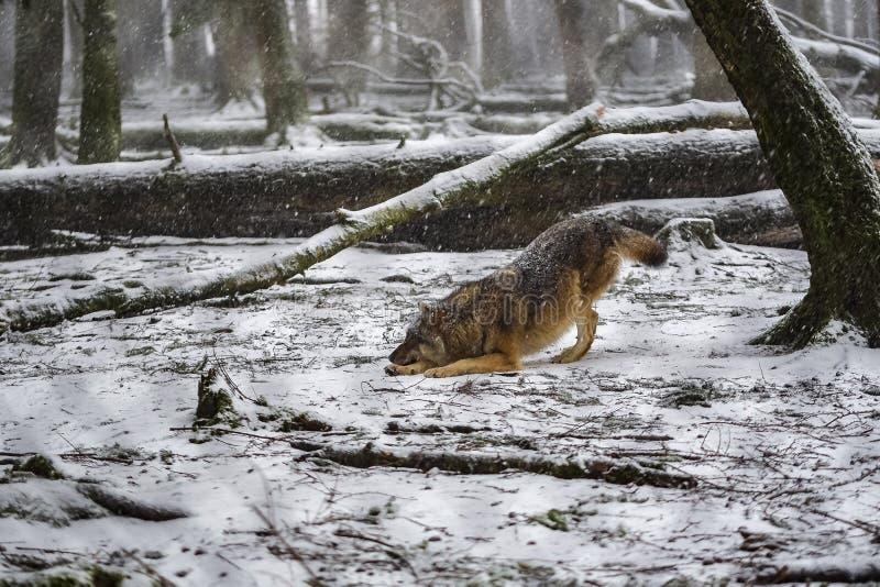 Czaić się wilk w śnieżnym drewnie fotografia royalty free