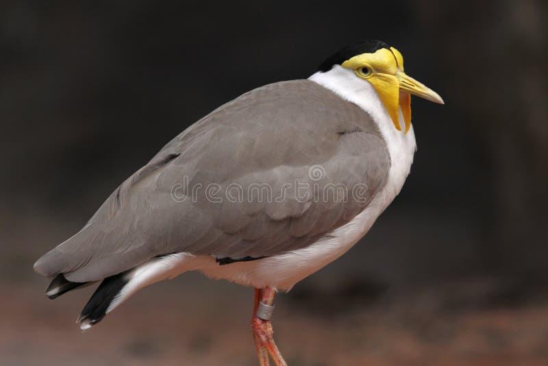 czajki zamaskowany mil vanellus zdjęcie stock