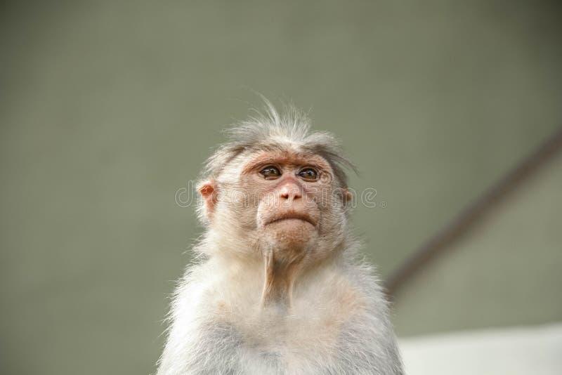 Czapeczka makak jest endemicznym makakiem zdjęcia royalty free