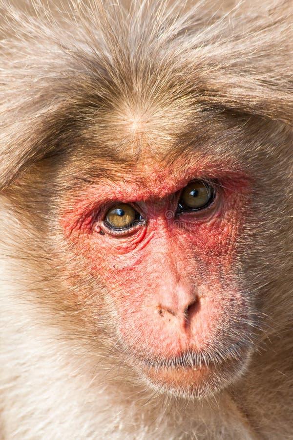 czapeczki zbliżenia makaka portret obraz royalty free