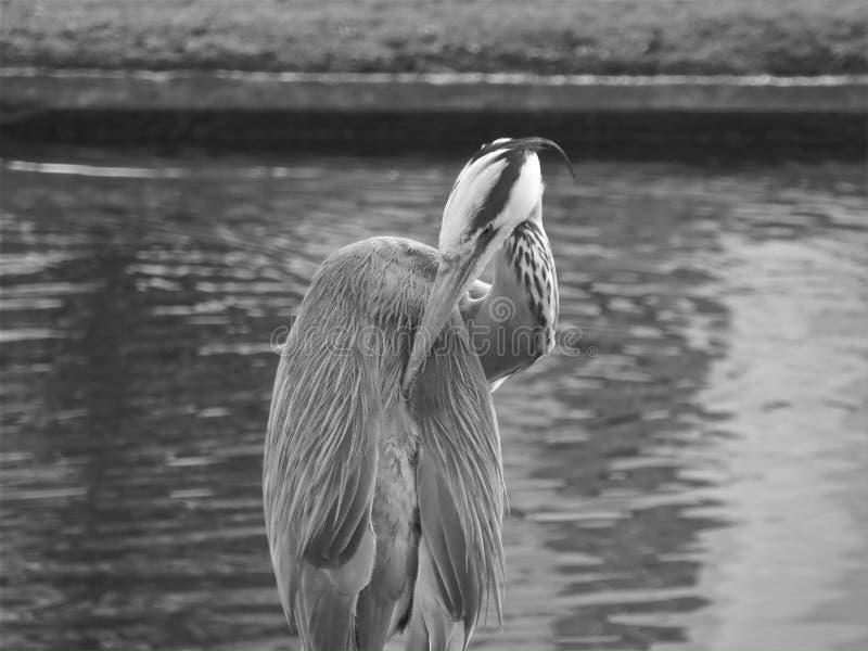 Czapla przy regenta parkiem Londyn zdjęcie royalty free