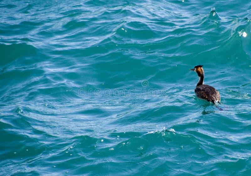 Czapla unosi się w wodzie morskiej waterfowl zdjęcia stock