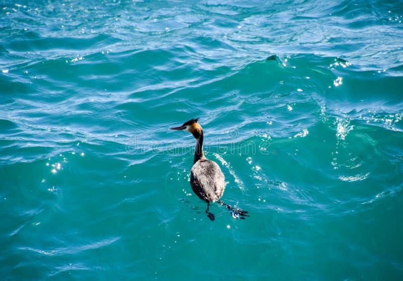 Czapla unosi się w wodzie morskiej waterfowl fotografia royalty free