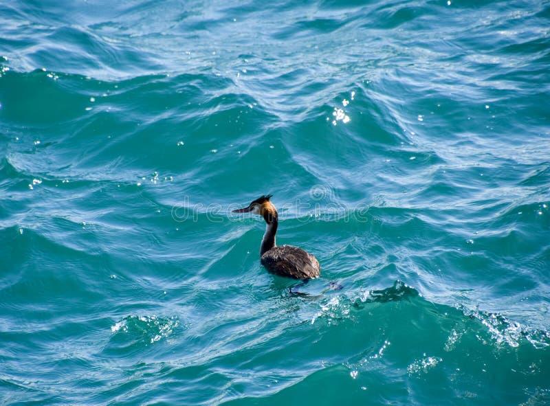 Czapla unosi się w wodzie morskiej waterfowl obraz royalty free