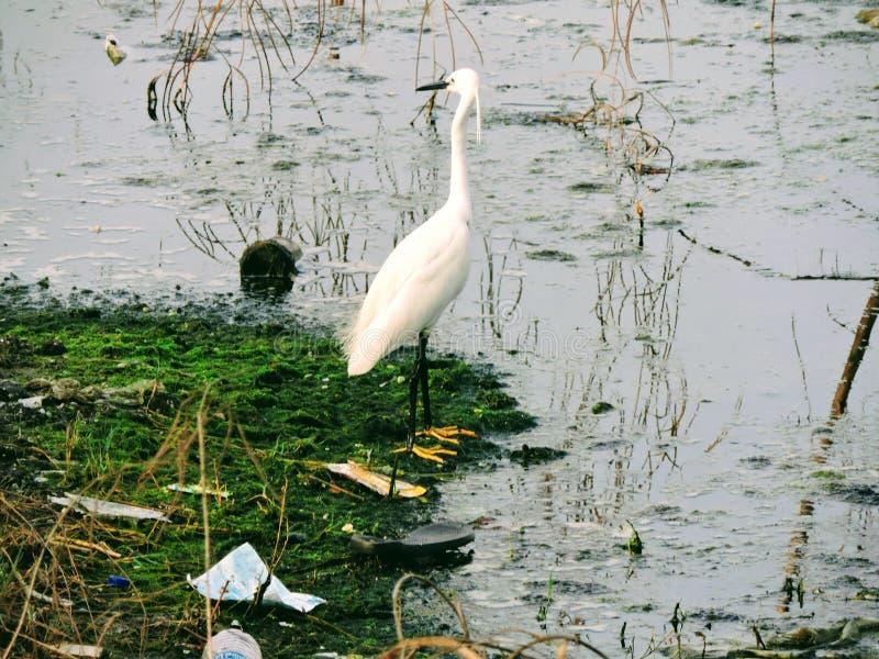 Czapla w jeziorze zdjęcia stock