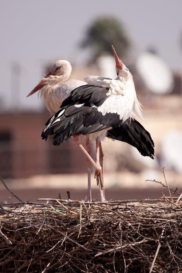 czaple Marrakesch zdjęcie royalty free