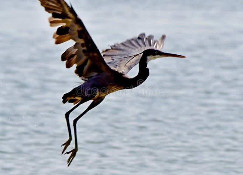CZAPLI Denni ptaki w locie przy wybrzeżem w Arabia Saudyjska obraz royalty free