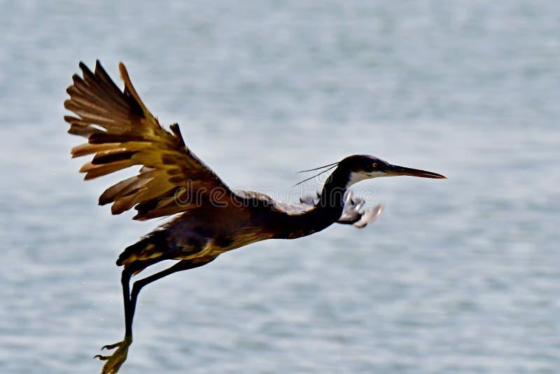 CZAPLI Denni ptaki w locie przy wybrzeżem w Arabia Saudyjska obraz stock
