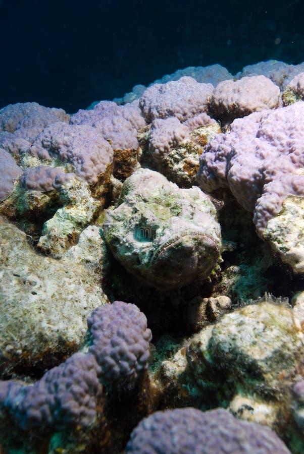 czarci diabola scorpaenopsis scorpionfish obraz stock