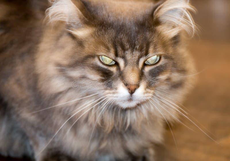 Czarci ` s kot piękny i okropny obraz royalty free