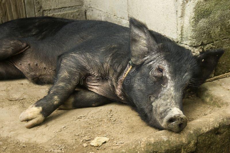 czarna świnio odpocząć fotografia royalty free