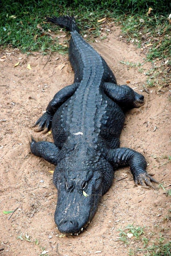 czarna aligatora fotografia royalty free
