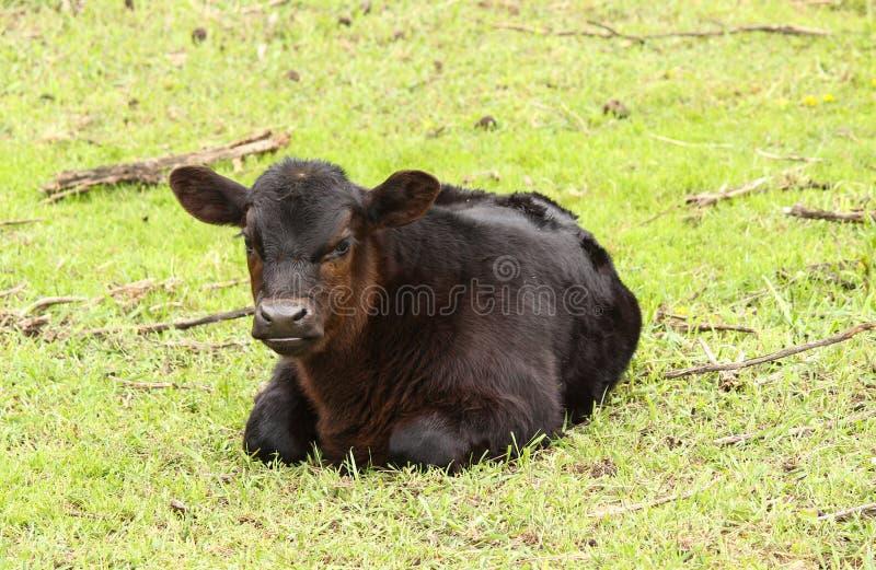 Czarna Angus byka łydka fotografia stock