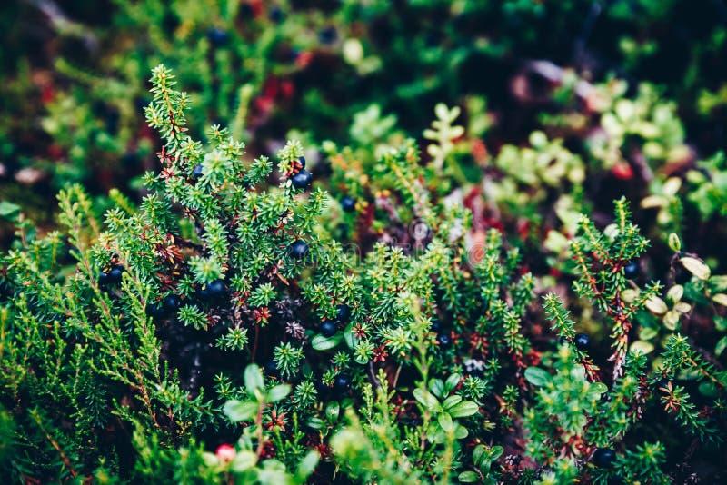 Czarna bażyna w w górę lato lasu, Finlandia Lapland obraz royalty free