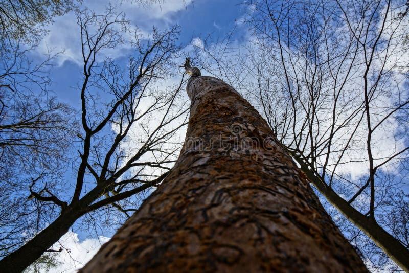 Czarna biała błękitna grabież w górę drzewa zdjęcie royalty free