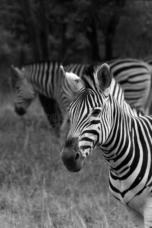 czarna biała zebra obrazy stock