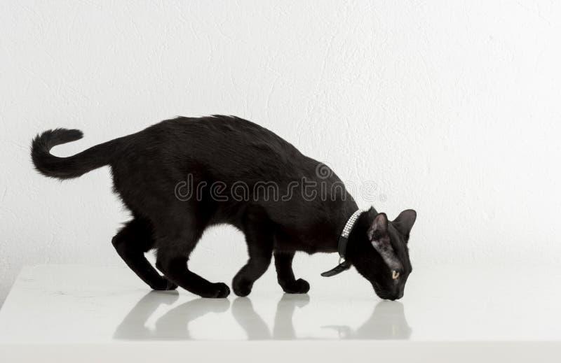 Czarna Bombay kota pozycja na Białym tle patrząc z zdjęcie stock