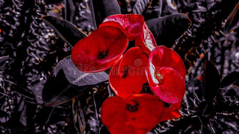czarna czerwony fotografia stock