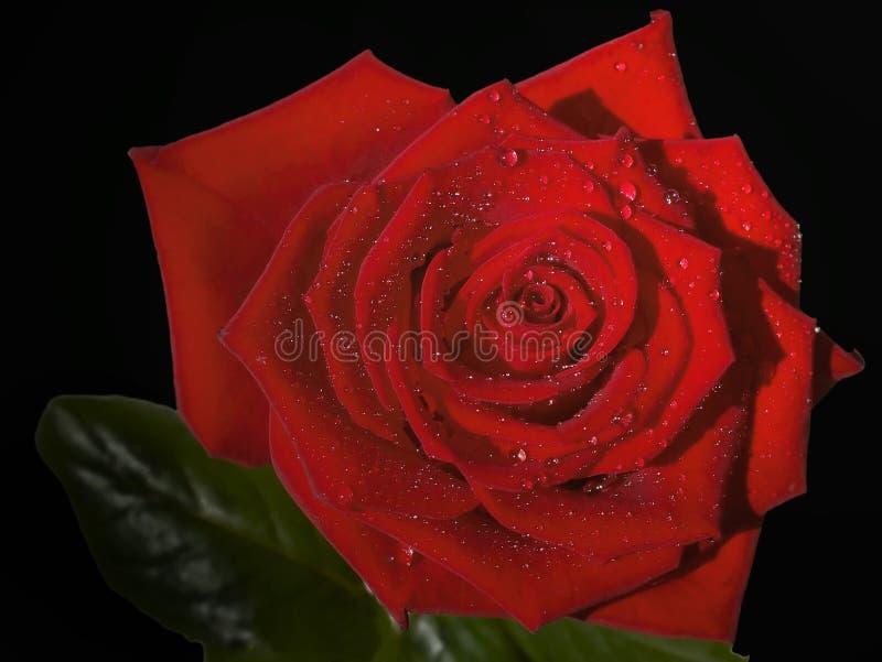 Download Czarna czerwony obraz stock. Obraz złożonej z płatki, kwiaty - 195833
