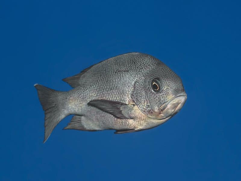 Czarna fotograf ryba w wodzie tropikalny morze, Wewnątrz (Macolor Niger) obrazy royalty free
