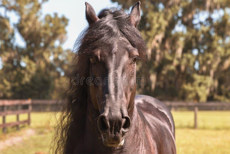 Czarna Fryzyjska końska głowa fotografia royalty free