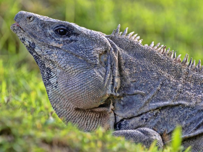 Czarna iguana, Ctenosaura similis, jest masywnym jaszczurką, przebywa przeważnie na ziemi, Belize obraz stock