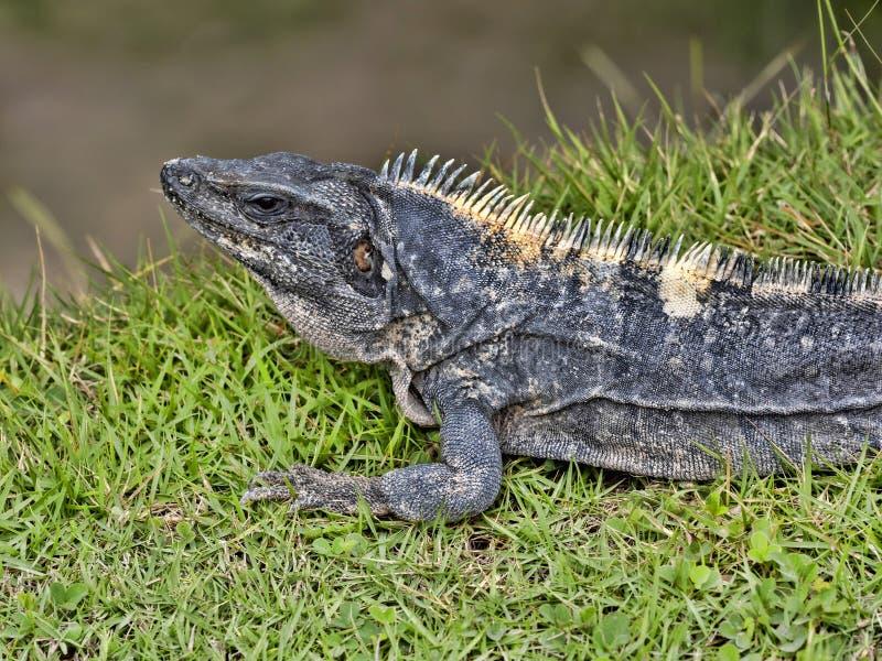Czarna iguana, Ctenosaura similis, jest masywnym jaszczurką, przebywa przeważnie na ziemi, Belize zdjęcia stock