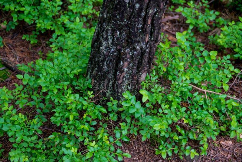 Czarna jagoda krzak i drzewny bagażnik zdjęcia stock