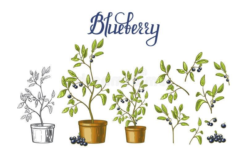 Czarna jagoda krzaki w flowerpots, liściach i jagodach odizolowywających na białym tle, ilustracja wektor