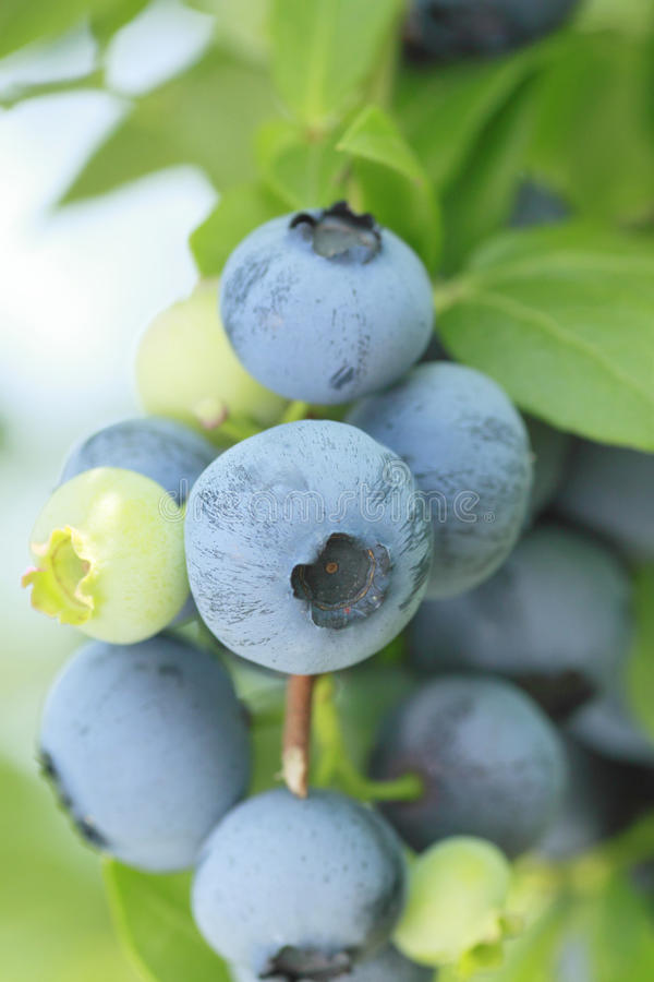 Czarna jagoda w lato obrazy stock